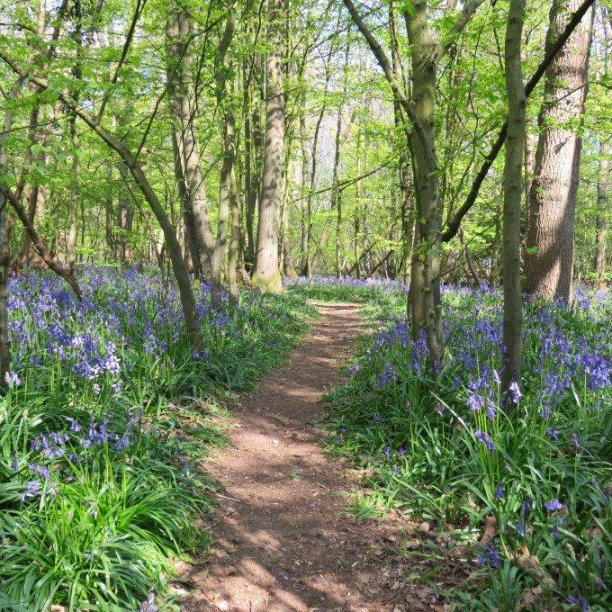 Woodland Bluebell Carpet